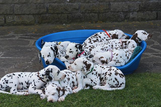 La prossima cucciolata e' prevista per fine primavera 2017